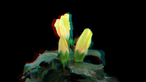 Stereoscopic 3D time-lapse of opening yellow hibiscus 1a... Stock Video Footage