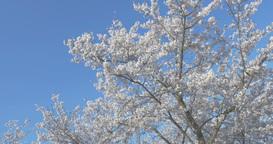 4K_cherry blossoms 桜 ライブ動画