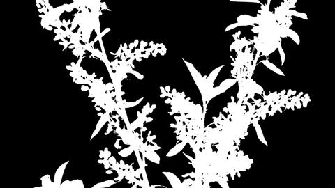 Time-lapse Of Blooming Bird Cherry Branch, RGB + ALPHA stock footage