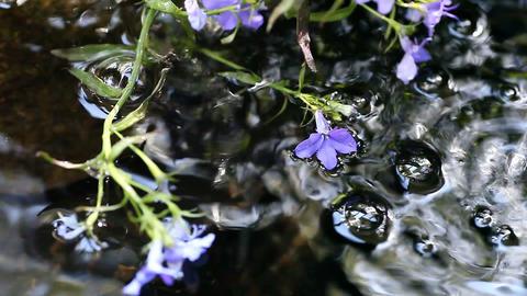 lobelia flowers in fountain Footage