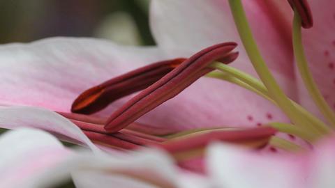 stargazer lily flower closeup Footage