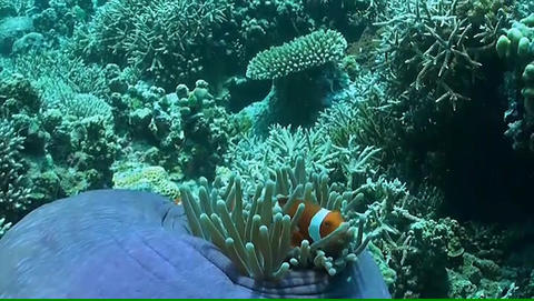 Clownfish In A Sea Anemone stock footage