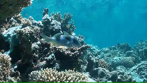 Goatfish On A Coral Reef stock footage