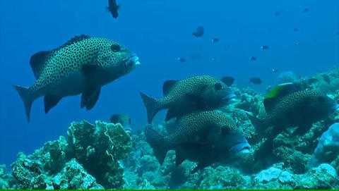 Harlequin Sweetlips on a coral reef ภาพวิดีโอ