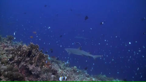 Reef Sharks Swimming Over A Coral Reef stock footage