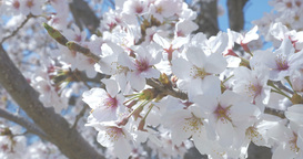 4K_cherry blossoms 桜 Footage