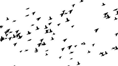 birds loop 1 Animation