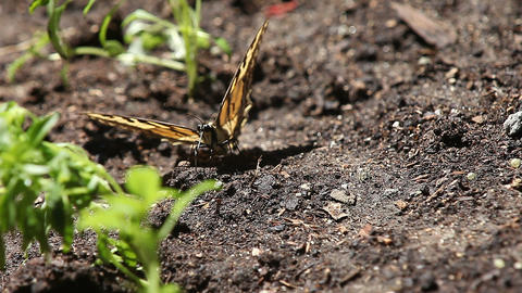 Injured Butterfly On The Ground stock footage