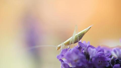 tiny katydid on lavender flower Footage