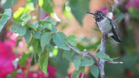 ruby throated hummingbird calling repeatedly Footage