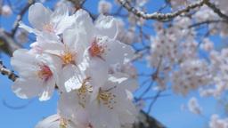 4 K UHD 桜_cherry blossom Footage