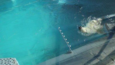 Polar bear swimming in the water Live Action