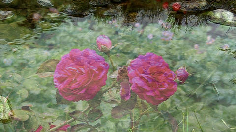 Red roses are blooming, shot through the clear flowing water Footage