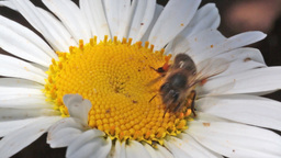Bee on a daisy Footage