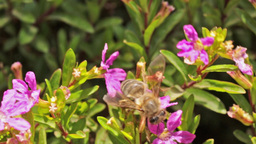 A bee in search of a flower with nectar Footage