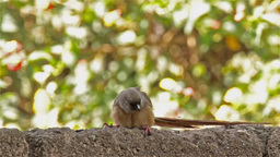 Long tailed Speckled Mousebird on the fence Footage