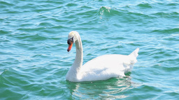 Wild White Swan In The Water stock footage