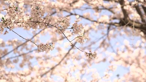 Sakura 01 ライブ動画