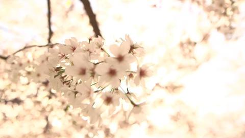 Sakura 02 ライブ動画