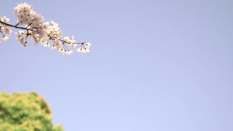 Sakura 04 Footage