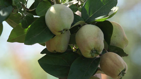Quinces On Tree stock footage