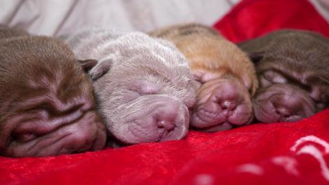 Newborn Shar Pei Dog Pups Resting Footage