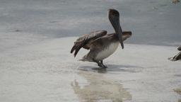 pelicans bird wildlife nature Footage