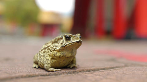 Frog At Temple Stock Video Footage