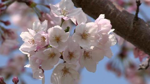 桜 Stock Video Footage