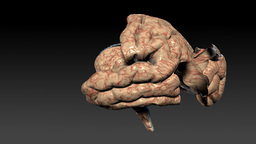 Human brain assembling,seamless loop,Alpha Channel Animation
