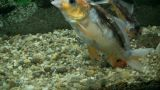 Underwater Footage Of Exotic Fishes stock footage