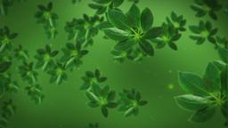 Green tea leafs Stock Video Footage