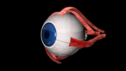 Human Eye rotating,alpha Animation