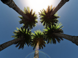Date Palm Trees and sun shining, low angle Stock Video Footage
