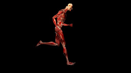 Human musculature running, loop Animation