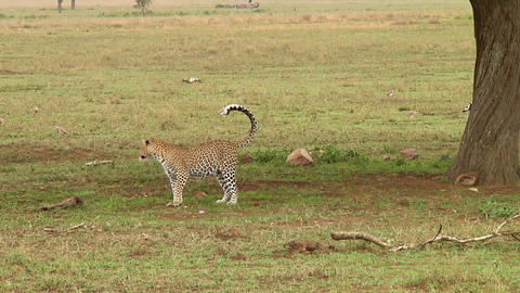 Leopard Stock Video Footage