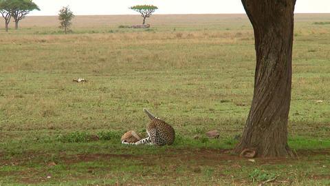 Leopard Footage
