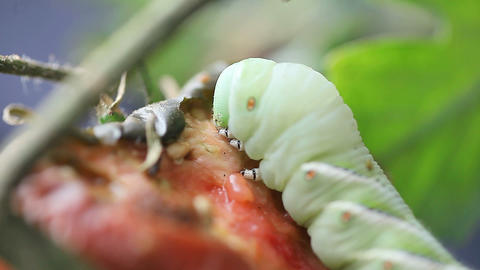 Large Caterpillar Destroying A Tomato stock footage