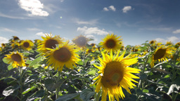 Sunflower Field Summer Countryside stock footage