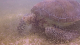 loggerhead turtle underwater mexico Footage