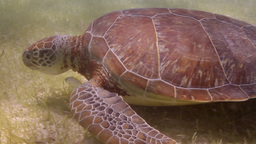 Loggerhead Turtle Filmed Underwater In Mexico stock footage