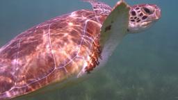loggerhead turtle filmed underwater in mexico Footage