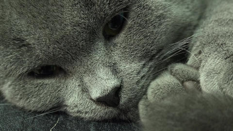 Beautiful Scottish Fold Grey Cat Closeup. 4K UltraHD, UHD Footage