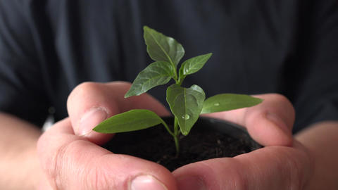 Human Hands Holding Green Small Plant. New Life Concept.. 4K UltraHD, UHD Footage