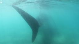 whale shark Footage