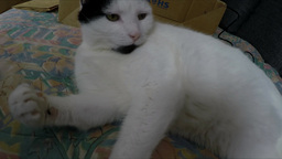 Cat Inspecting Camera stock footage