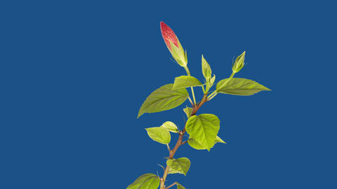 Hibiscus 4k stock footage