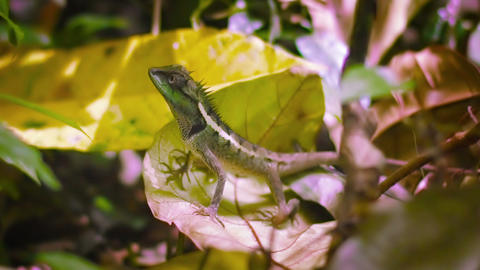 Forest lizard on fallen leaves close up. Thailand. Phuket Footage