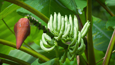 Banana flower with immature fruit after rain Footage