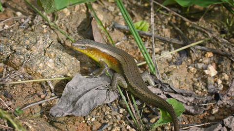 Large Lizard On Ground - Skink. Thailand. Phuket Island stock footage